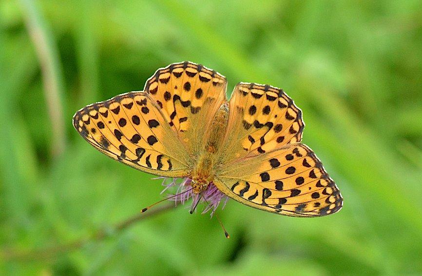 信州の蝶たち2014、その2 クジャクチョウほか(2014年8月22日) _d0303129_2020063.jpg
