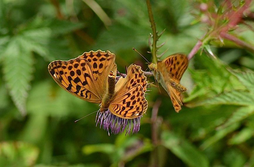 信州の蝶たち2014、その2 クジャクチョウほか(2014年8月22日) _d0303129_2020755.jpg