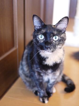 猫のお友だち ワサビちゃん天ちゃんう京くん編。_a0143140_20462289.jpg