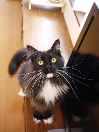 猫のお友だち ワサビちゃん天ちゃんう京くん編。_a0143140_20473289.jpg
