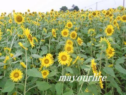 ひまわり畑と緑の稲_d0169179_23381454.jpg