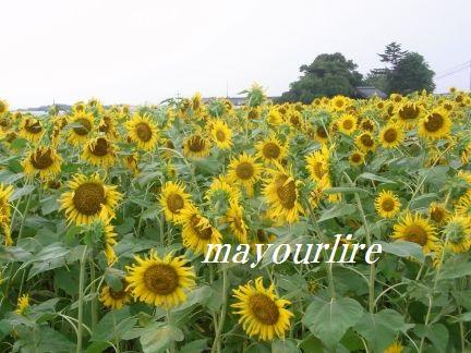ひまわり畑と緑の稲_d0169179_23405415.jpg