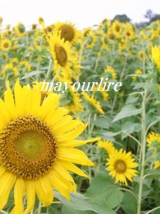 ひまわり畑と緑の稲_d0169179_2342766.jpg