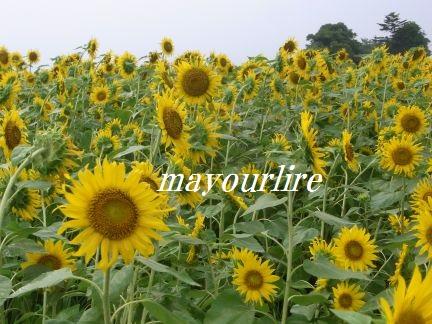 ひまわり畑と緑の稲_d0169179_2351011.jpg