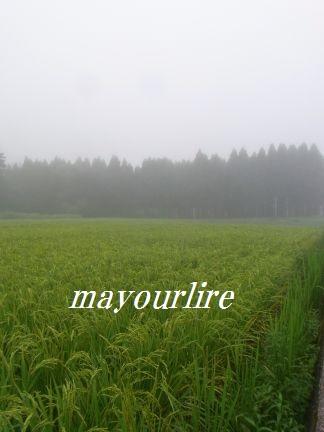 ひまわり畑と緑の稲_d0169179_23525850.jpg
