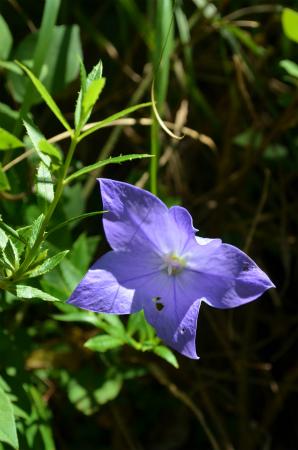 8月19日 早くも咲いた加計呂麻のキキョウ_e0028387_23185796.jpg