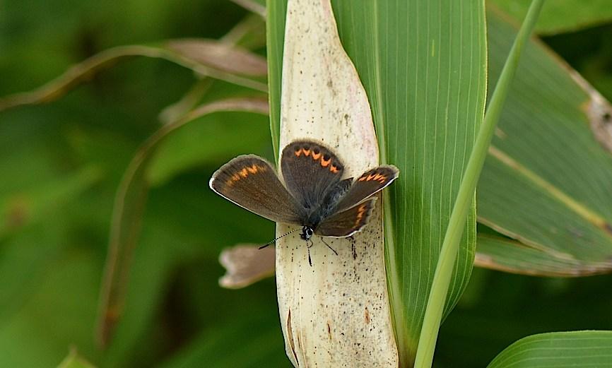 信州の蝶たち2014、その3 ゴマシジミ初見初撮りほか(2014年8月23日) _d0303129_13103876.jpg