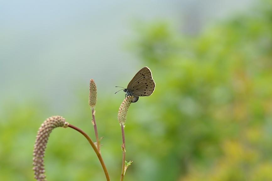 信州の蝶たち2014、その3 ゴマシジミ初見初撮りほか(2014年8月23日) _d0303129_13242465.jpg