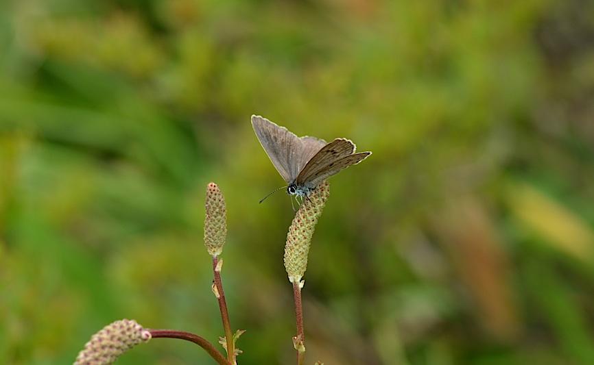 信州の蝶たち2014、その3 ゴマシジミ初見初撮りほか(2014年8月23日) _d0303129_1325109.jpg