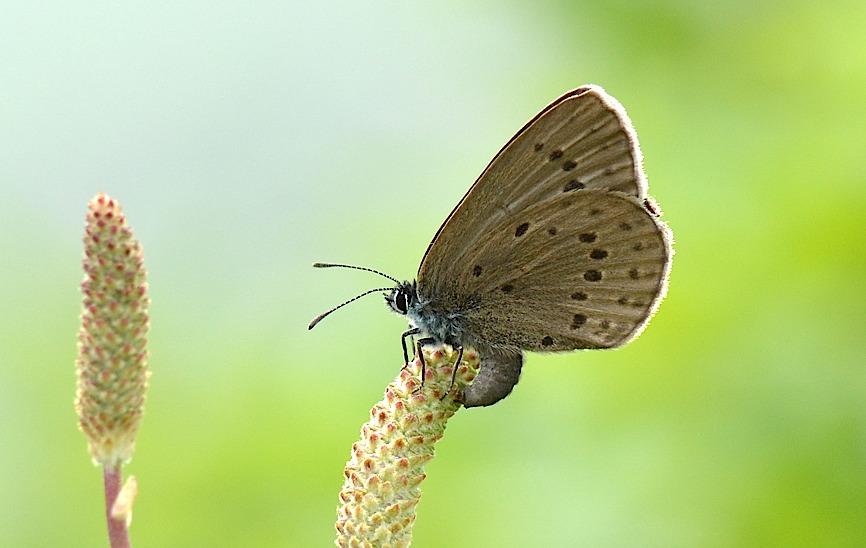信州の蝶たち2014、その3 ゴマシジミ初見初撮りほか(2014年8月23日) _d0303129_13272527.jpg