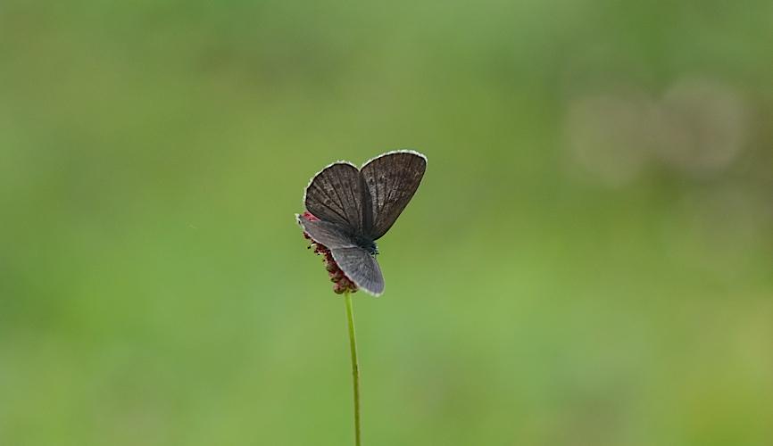 信州の蝶たち2014、その3 ゴマシジミ初見初撮りほか(2014年8月23日) _d0303129_13910100.jpg