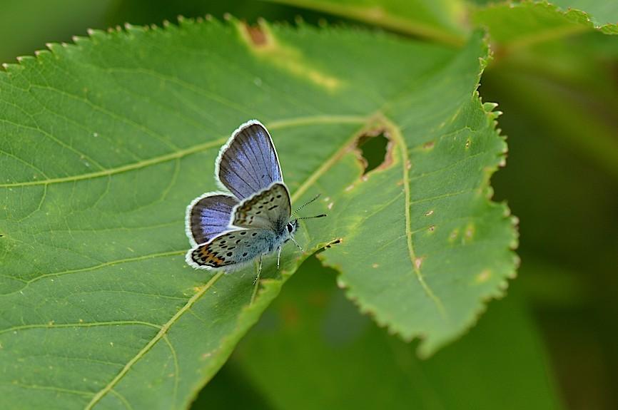 信州の蝶たち2014、その3 ゴマシジミ初見初撮りほか(2014年8月23日) _d0303129_1395120.jpg