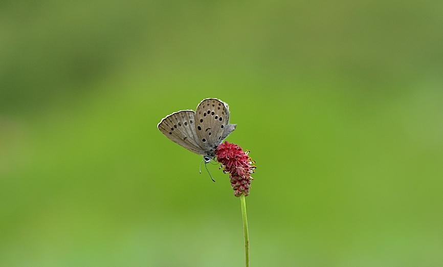 信州の蝶たち2014、その3 ゴマシジミ初見初撮りほか(2014年8月23日) _d0303129_139557.jpg