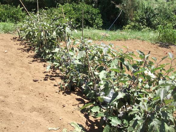 秋まで採れる、夏野菜..._b0137932_13214669.jpg