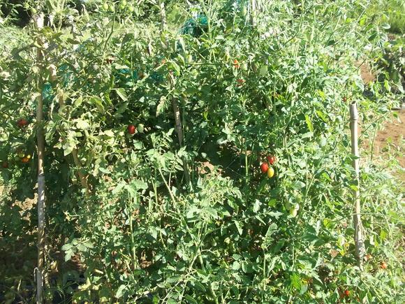 秋まで採れる、夏野菜..._b0137932_13225325.jpg