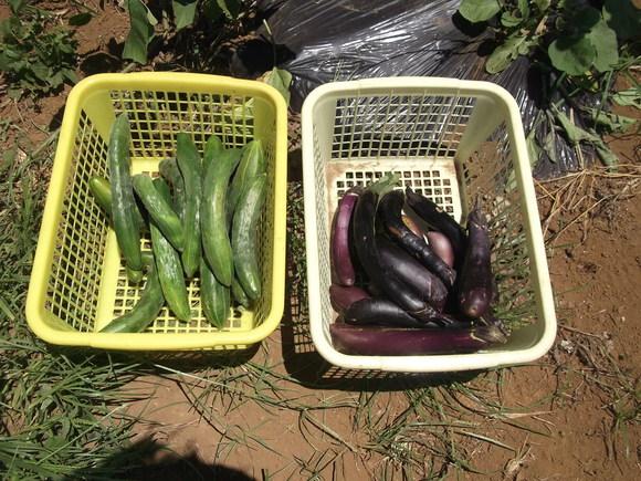 秋まで採れる、夏野菜..._b0137932_1322879.jpg