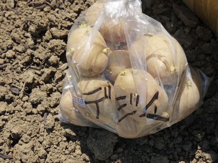 竹炭が威力!春ジャガ保存成功、秋ジャガ栽培用に使用_c0014967_8465524.jpg