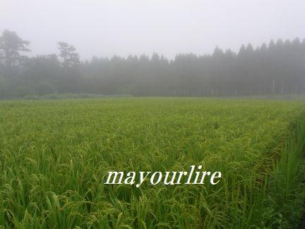ひまわり畑と緑の稲_d0169179_23595395.jpg