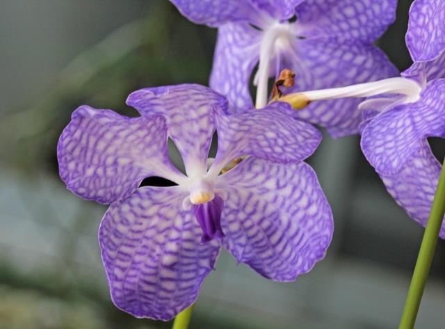 Vanda.coerulea \'Heavenly Blue\'_d0007501_1134237.jpg