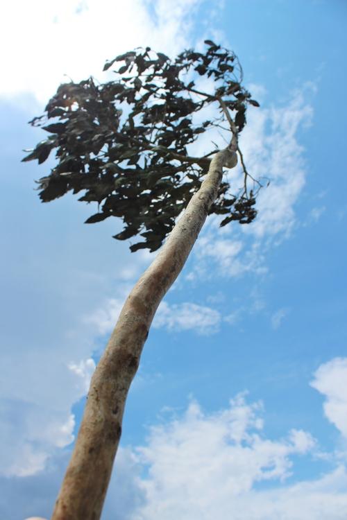 デカス 「これもチャの木」_b0220318_2333715.jpg