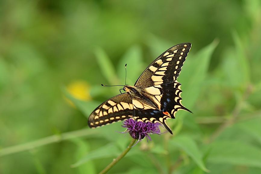 信州の蝶たち2014、その4 コキマダラセセリほか(2014年8月24日) _d0303129_3334467.jpg