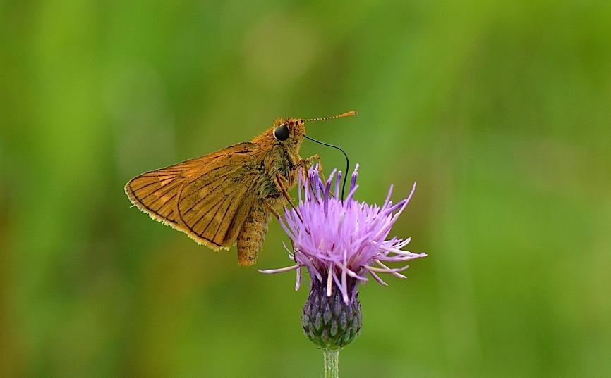 信州の蝶たち2014、その4 コキマダラセセリほか(2014年8月24日) _d0303129_3342064.jpg