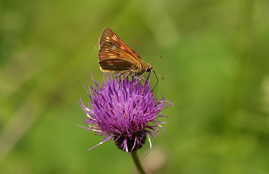 信州の蝶たち2014、その4 コキマダラセセリほか(2014年8月24日) _d0303129_3342832.jpg
