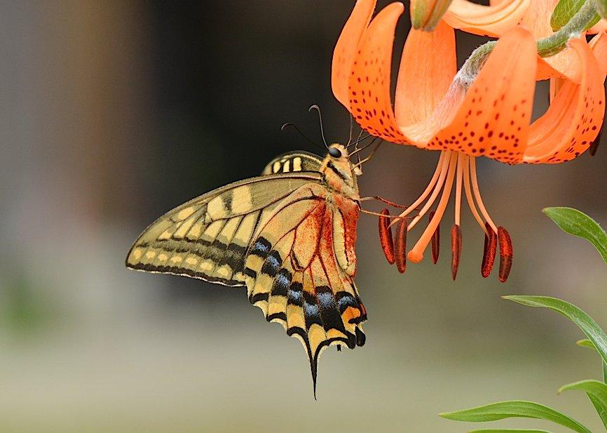 信州の蝶たち2014、その4 コキマダラセセリほか(2014年8月24日) _d0303129_334366.jpg