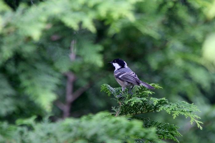 2014.8.24 今日の鳥見は700gの減量・矢倉岳・ヒガラ、ハヤブサ、イワツバメ_c0269342_19505251.jpg