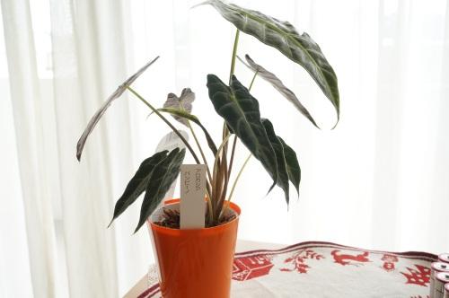 観葉植物 アロカシア・パンビーノ_e0195766_17403131.jpg
