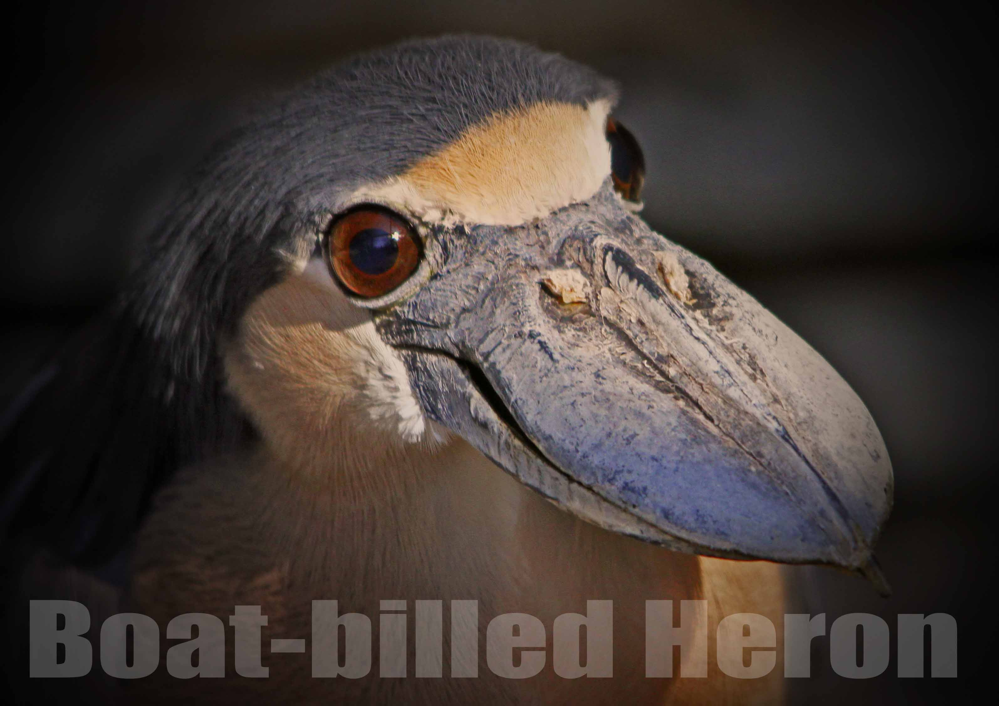 ヒロハシサギ:Boat-billed Heron_b0249597_5441382.jpg
