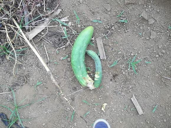 秋まで採れる、夏野菜..._b0137932_1314181.jpg