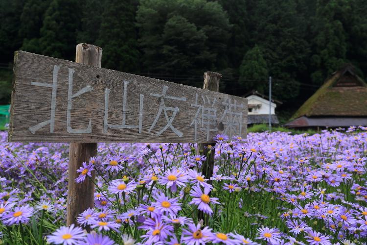 久多・北山友禅菊_e0051888_642494.jpg