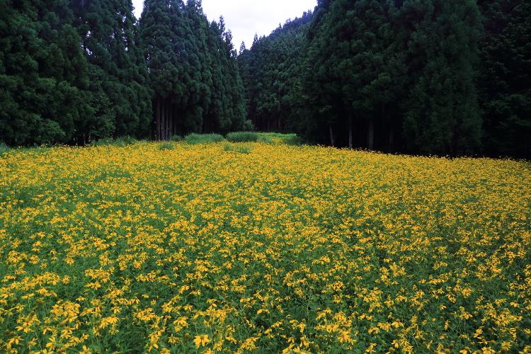 久多・北山友禅菊_e0051888_691562.jpg