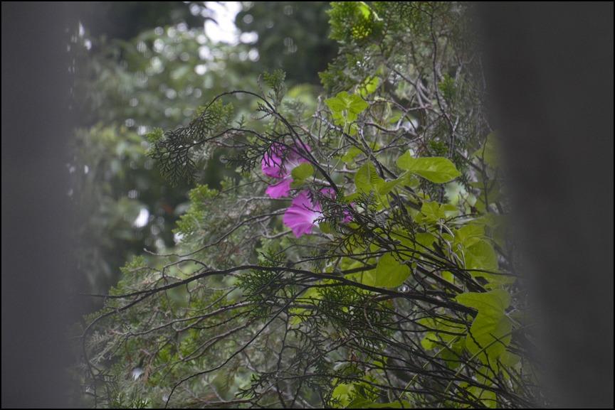曇り空に色とりどりの朝顔が咲きました_a0031363_041761.jpg