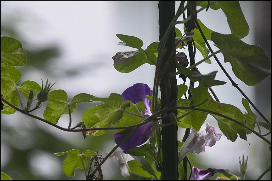 曇り空に色とりどりの朝顔が咲きました_a0031363_055599.jpg