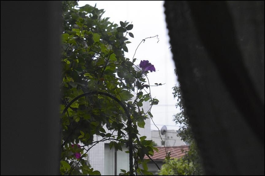 晩夏の雨の朝顔はなんとも切ない、、、、_a0031363_0194762.jpg