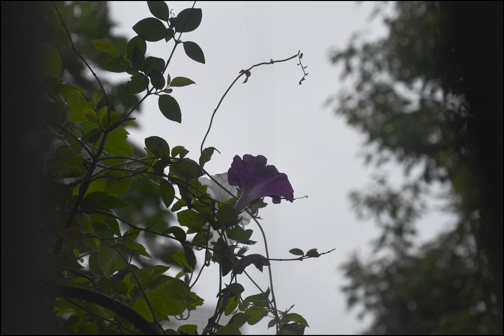 晩夏の雨の朝顔はなんとも切ない、、、、_a0031363_0212236.jpg