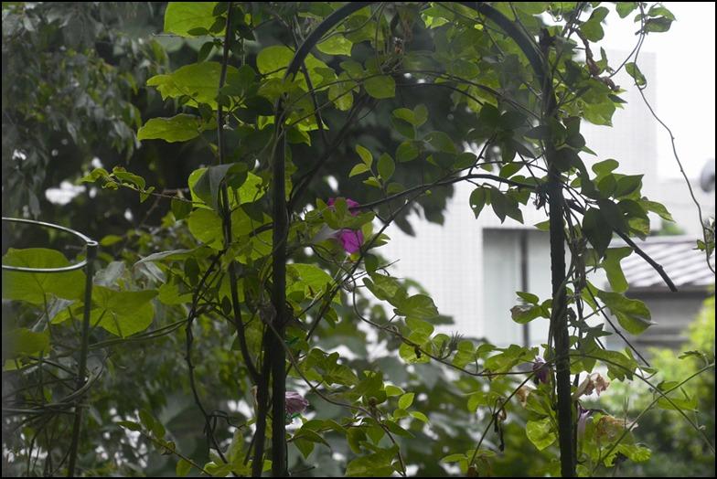 晩夏の雨の朝顔はなんとも切ない、、、、_a0031363_0215691.jpg