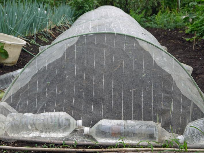 お湿り効果でダイコン、コマツナが発芽:2014・8・29_c0014967_22445349.jpg