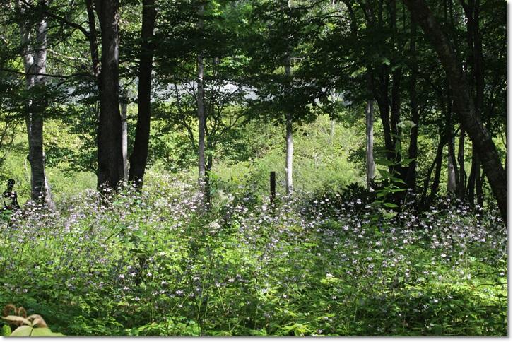 平成の森のレンゲショウマ(8・26)_f0146493_21472855.jpg