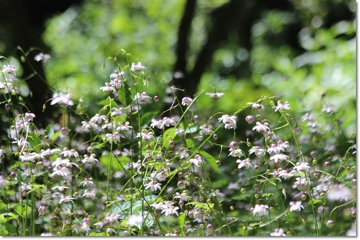 平成の森のレンゲショウマ(8・26)_f0146493_21475481.jpg