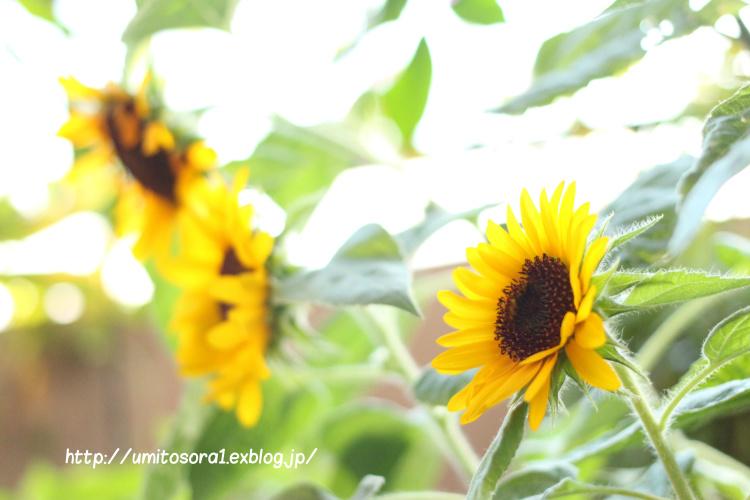 向日葵がほほえんで_b0324291_23310607.jpg