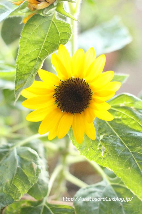 向日葵がほほえんで_b0324291_23310731.jpg