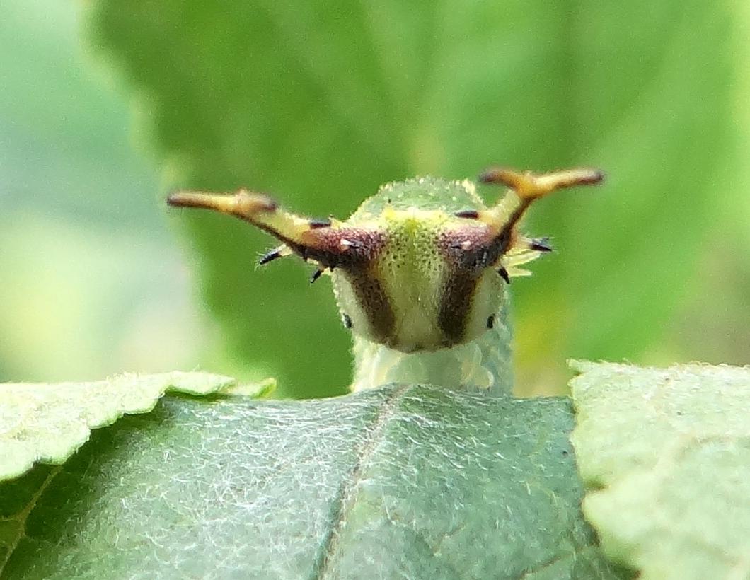 ゴマダラチョウの幼虫 庭のエノキにて_d0254540_18324634.jpg