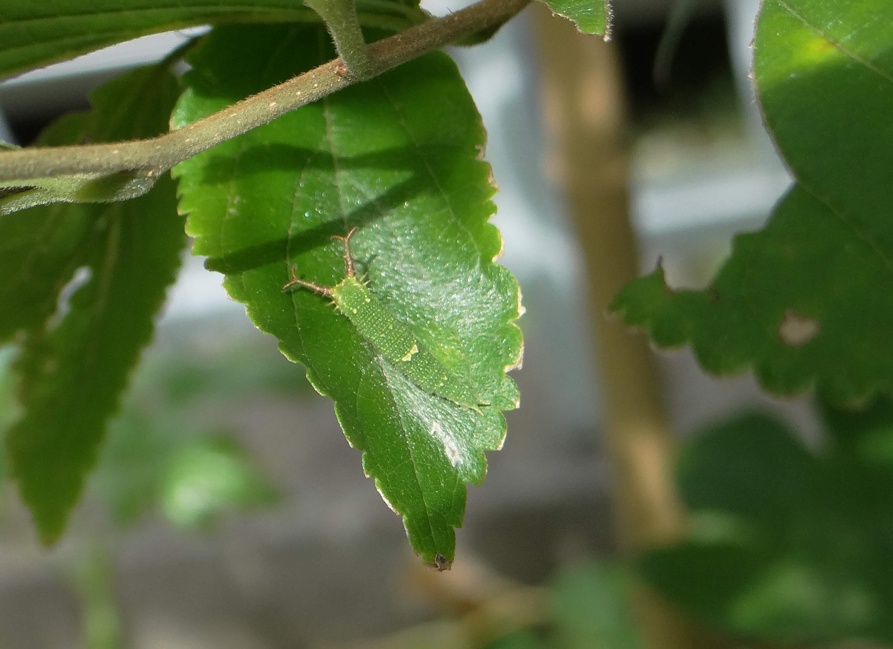 ゴマダラチョウの幼虫 庭のエノキにて_d0254540_18333677.jpg