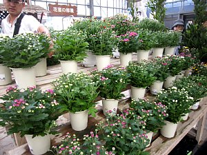 菊の季節です_c0141652_932550.jpg