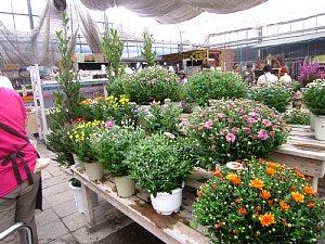 菊の季節です_c0141652_934430.jpg