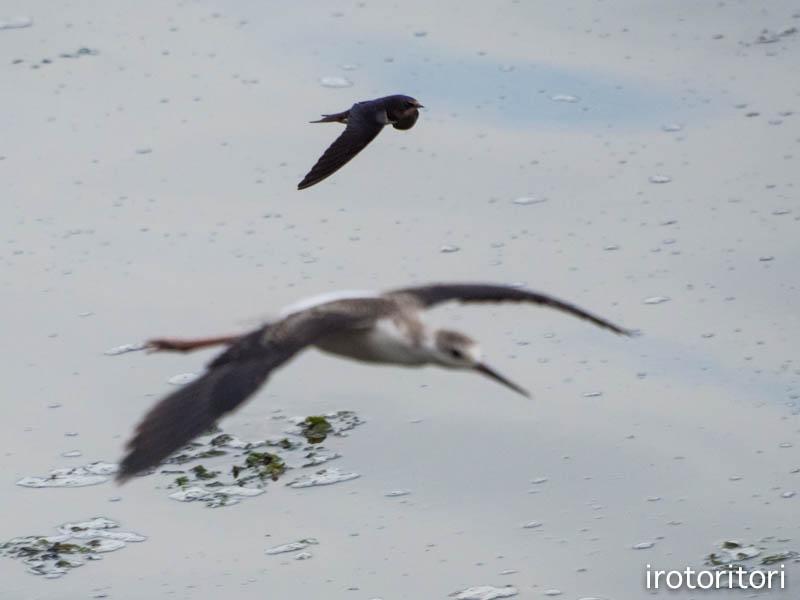 飛びます!!  (ツバメ & セイタカシギ)  2014/08/31_d0146592_0355385.jpg