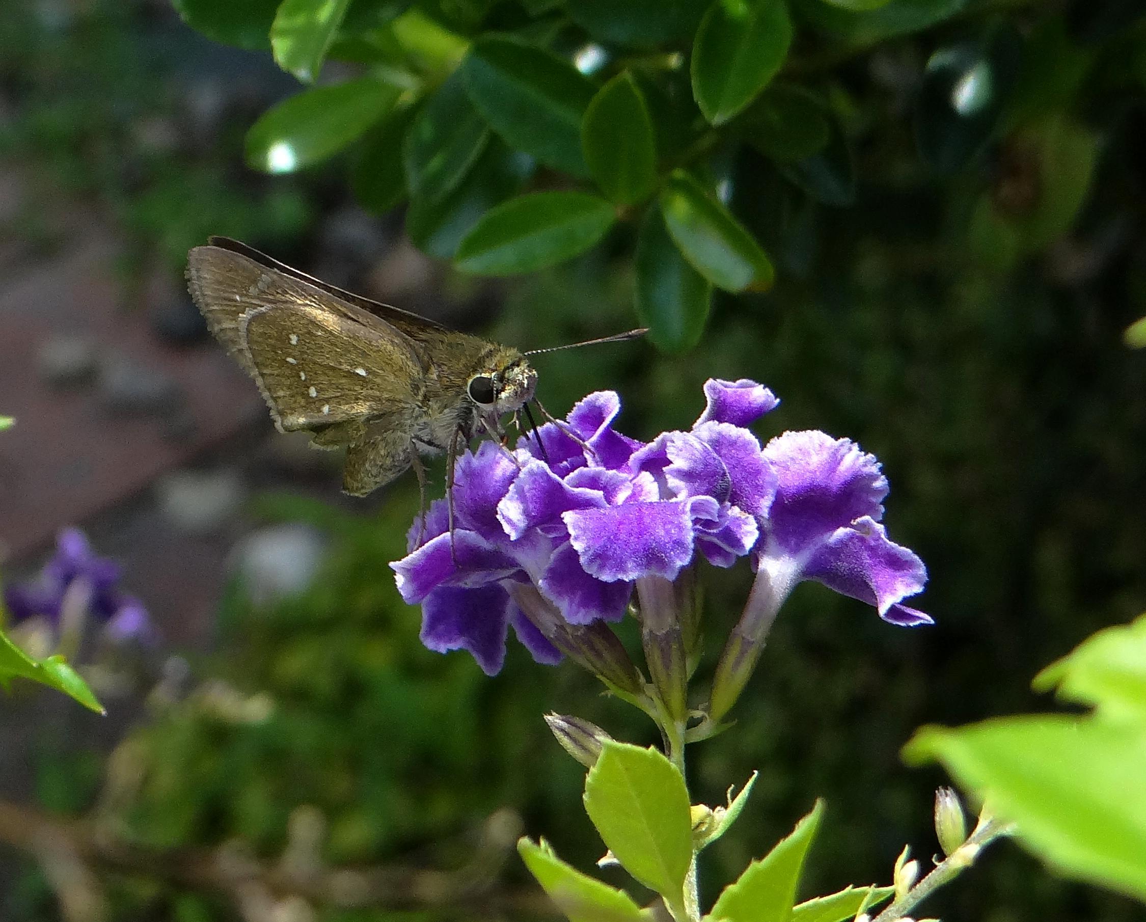 チャバネセセリ 庭にて_d0254540_18234127.jpg
